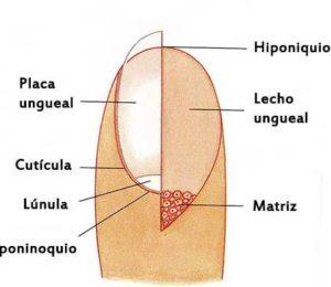 anatomia de las uñas